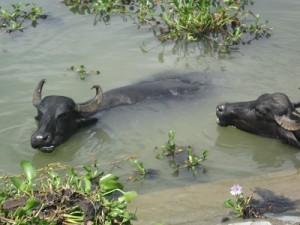 bufalos-agua-300x225