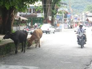 vacas-hindues-300x225