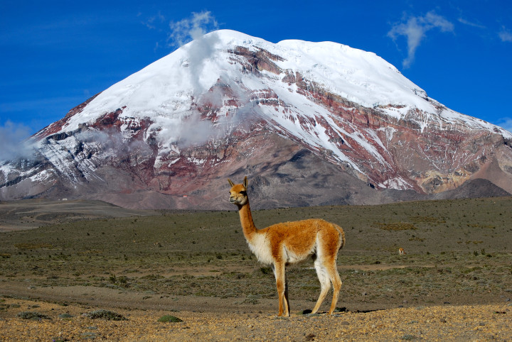 Vicuña_-_Chimborazo_Ecuador-720x482